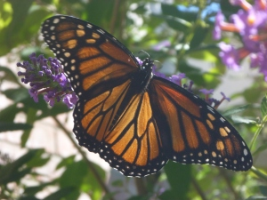 flowers and butterflies 014