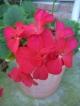 'Maverick' geranium