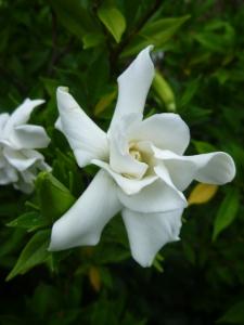 'Frostproof' gardenia