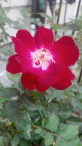 'Martha Gonzales' rose grown and photographed by my mother-in-law.