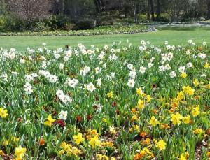 dancing daffodils at the arboretum