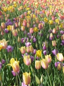 tulips! 006