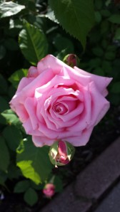 'Belinda's Dream' rose