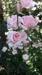 My grandmother's rose