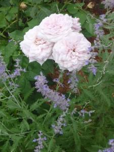 Russian sage surrounding Souvenir de la Malmaison rose