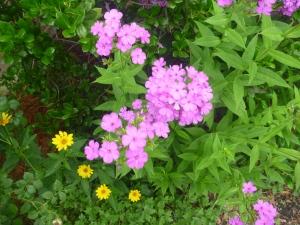 The yellow blooms of heliopsis pop beside purple garden phlox.