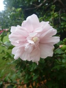 Althea 'Strawberry Smoothie'
